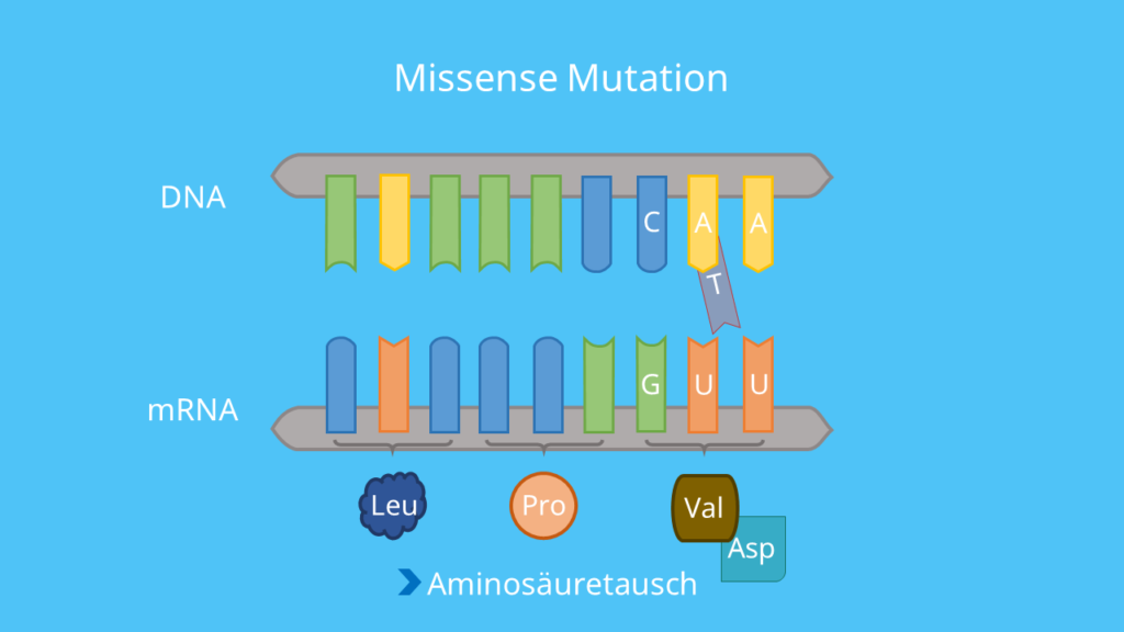Codon, DNA, mRNA, Punktmutation, Base, Mutation, Aminosäuresequenz, Phänotyp, Proteinbiosynthese, Translation, missense Mutation