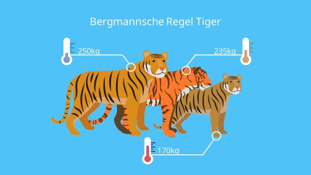 Alt-Text: Beispiel, Klima, Bergmann, Bergmann Regel, Klimaregel, Körpergröße, Körpervolumen, Tiger Arten