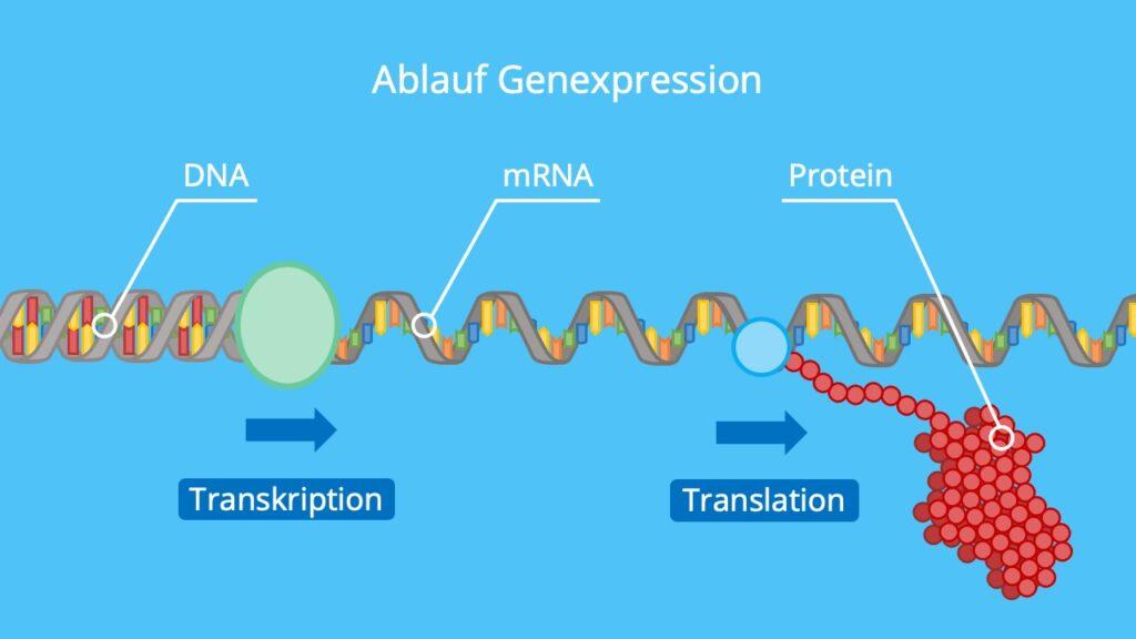DNA, mRNA, Protein, Transkription, Translation, Proteinbiosynthese