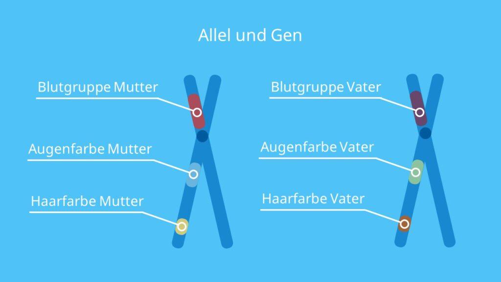 Allel und Gen, homologe Chromosomen, Allel, Gen, Genort, Genlokus, Mutation, Mendelsche Regeln