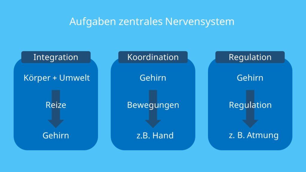 ZNS, Zentralnervensystem, Integration, Koordination, Regulation, Gehirn, Rückenmark