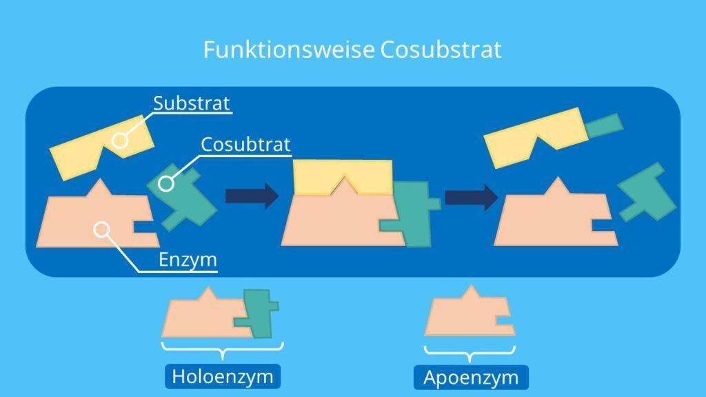 Cosubstrate, Coenzyme, Apoenzym, Holoenzym
