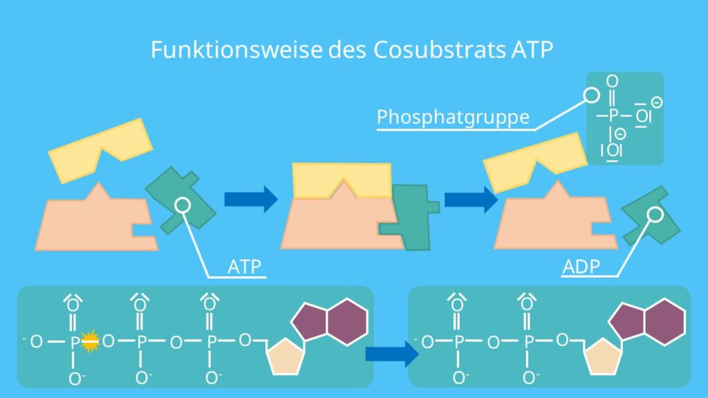 Coenzyme, Cosubstrate, Coenzyme Wirkungsweise