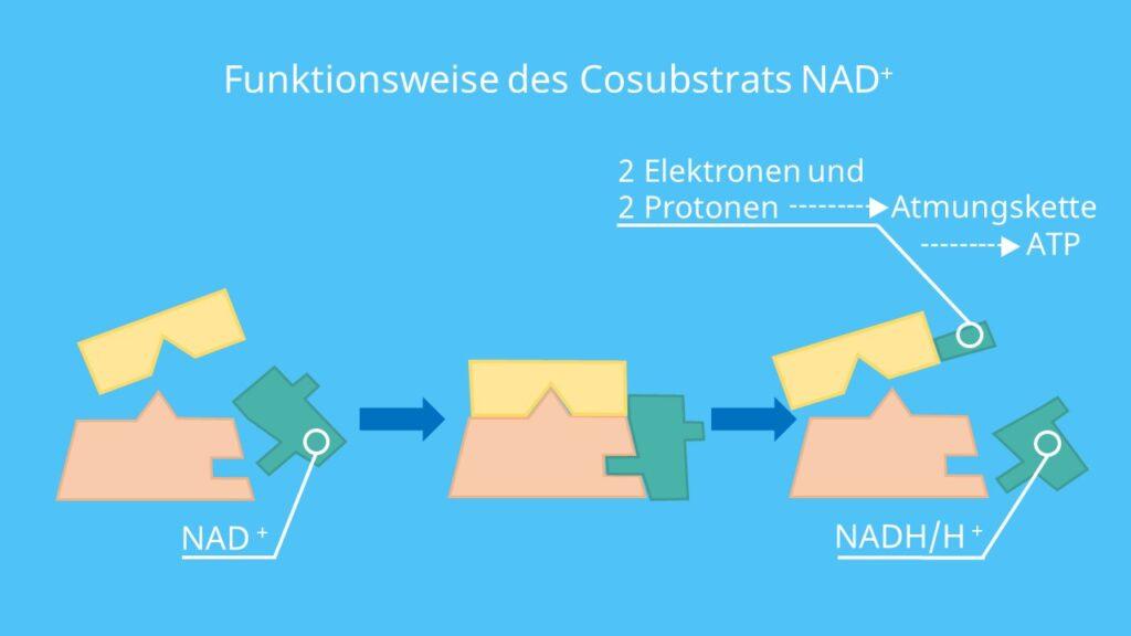 NAD Coenzym, NAD+, Coenzyme Wirkungsweise
