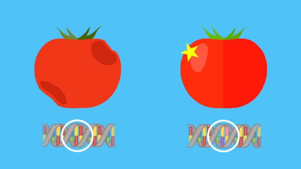 Grüne Gentechnik, Gentransfer, transgene Pflanzen, GVO, genetisch veränderter Organismus, Anti-Matsch-Tomate