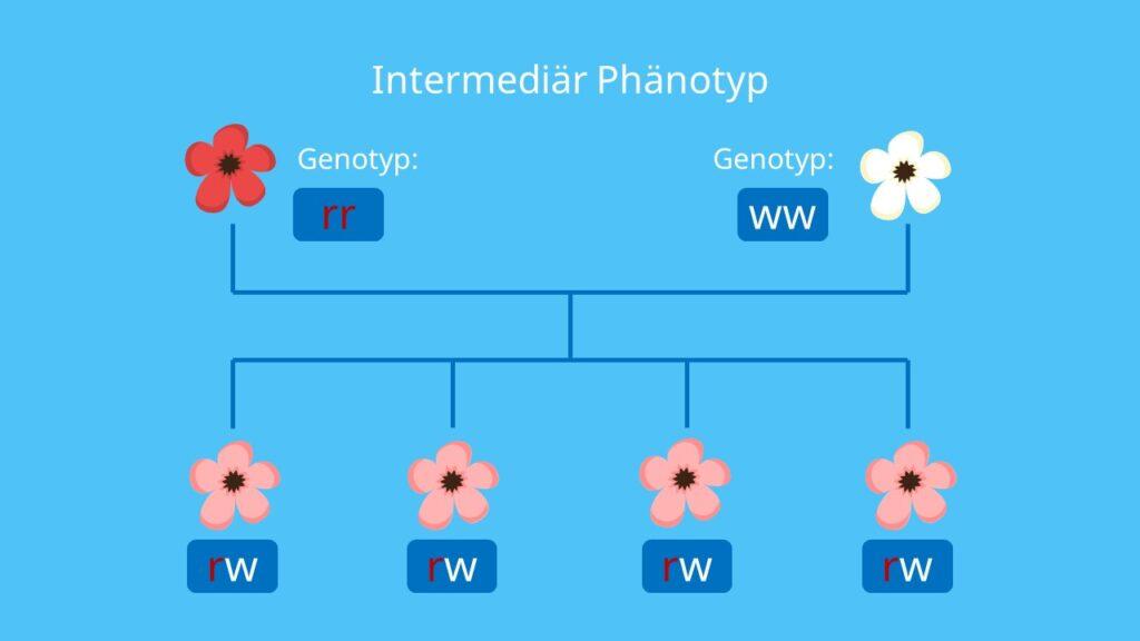 Intermediär Phänotyp, Intermediär, Genotyp, Allel, Allele, Phänotyp, Genlocus, Vererbung, Mendelsche Regeln