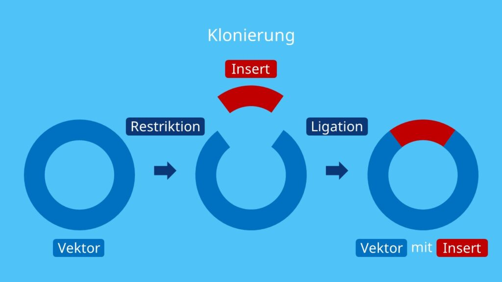 Klonierung, Restriktion, Vektor, Ligation, Restriktionsenzyme, Gentechnik