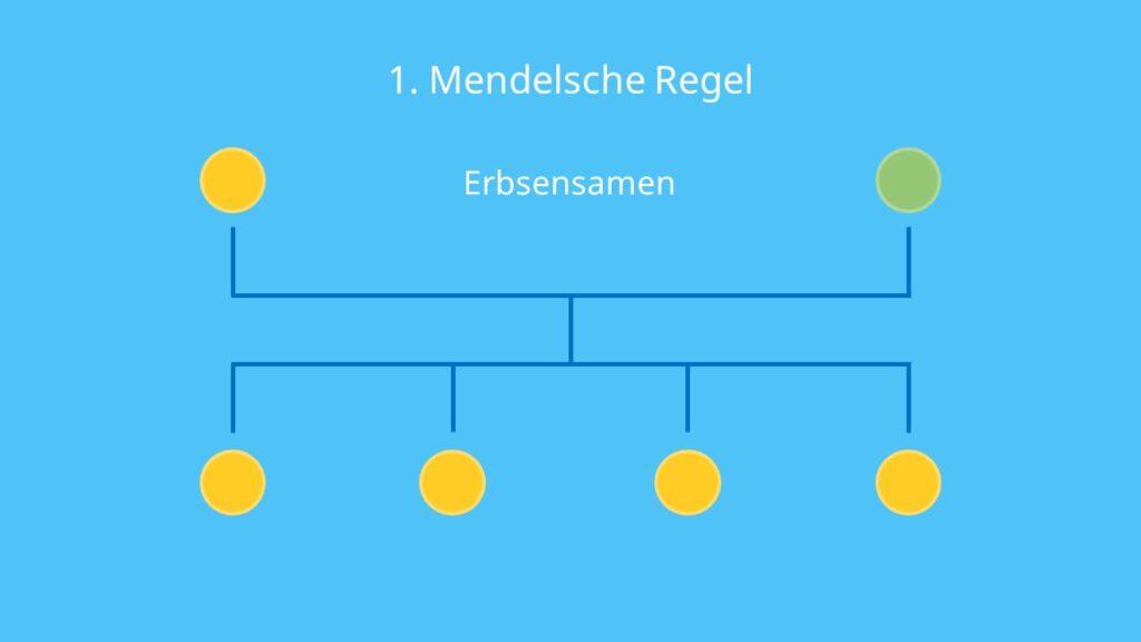 uniform, Uniformitätsregel, Erbsen, Samenfarbe, Parentalgeneration; Filialgeneration; Kreuzungsschema