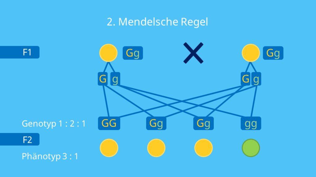 monohybrider Erbgang, Phänotyp, Genotyp, Spaltungsregel, Mendel, Erbsen Parentalgeneration, F1, F2-Generation