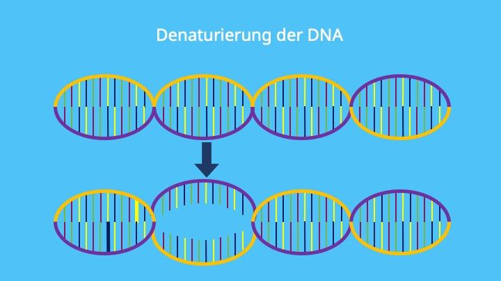 DNA Denaturierung, denaturieren, denaturation