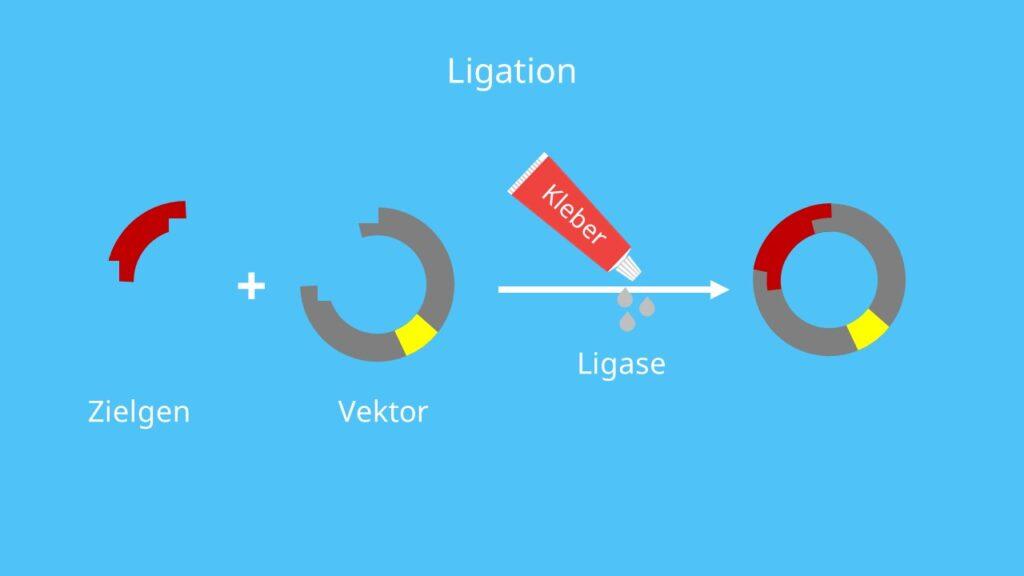 Vektor, Insert, Restriktion, Ligation, rekombinantes Plasmid, Insert