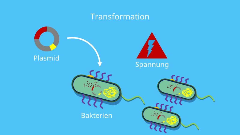 Klonierung, Restriktion, Ligation, Restriktionsverdau, Transformation, Selektion, Plasmid, Vektor