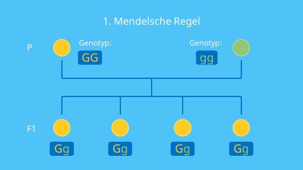 Genotyp und Phänotyp, Mendelsche Regeln, Uniformitätsregel, Genotyp, Phänotyp, Vererbungslehre, Allel, Gen