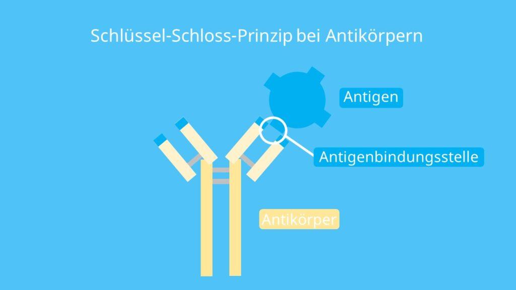 Schlüssel-Schloss-Prinzip, Schlüssel Schloss Prinzip Bio, Schloss und Schlüssel, Schlüssel und Schloss