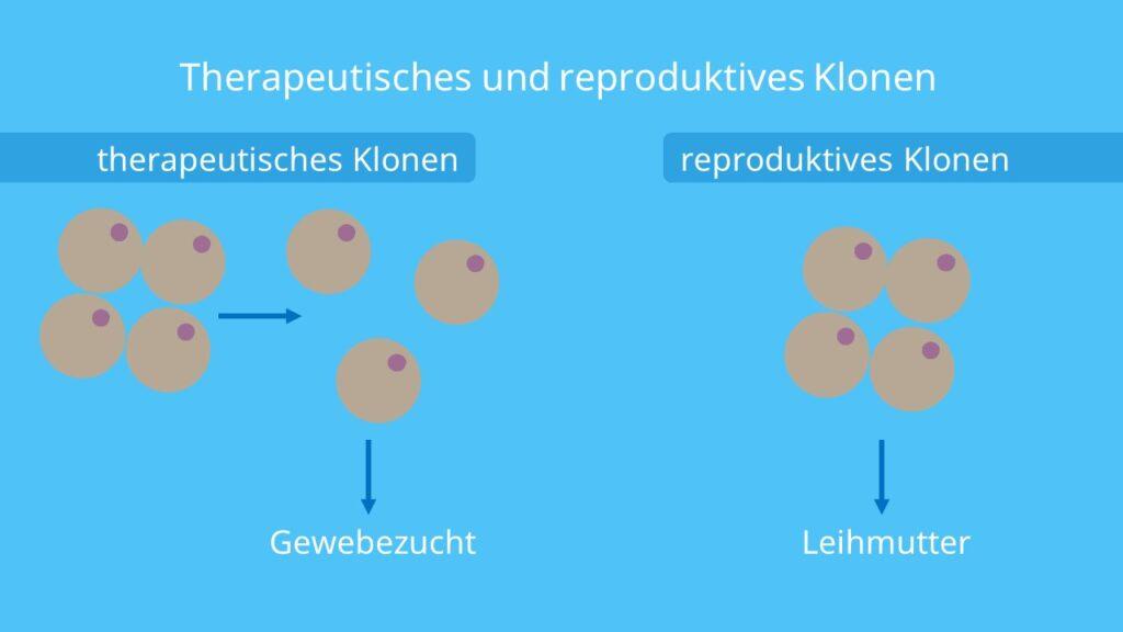 Klon, Leihmutter, Gewebezucht, embryonale Stammzellen, therapeutisches Klonen, reproduktives Klonen