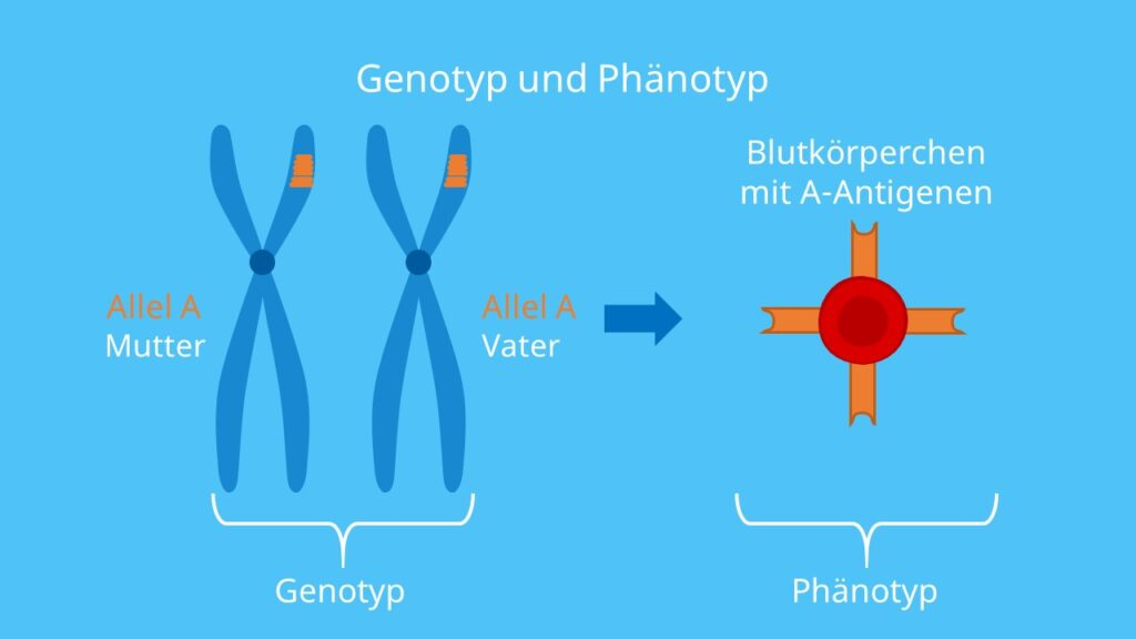 Blutgruppenvererbung, Allel A, Allel B, Blutgruppe A, Blutgruppe B, Mutter, Vater, Chromosomen