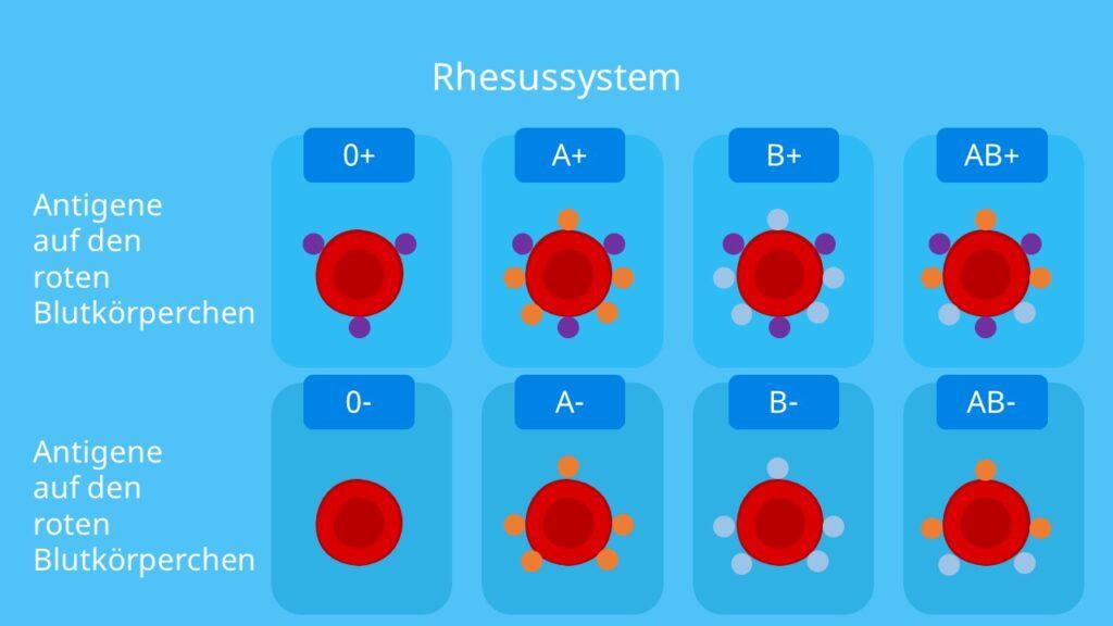Rhesusfaktor; Blutgruppenvererbung, Antigene, rhesusnegativ, rhesuspositiv, Blutgruppe 0-, AB +, A+, B+, 0+, AB-, A-, B-