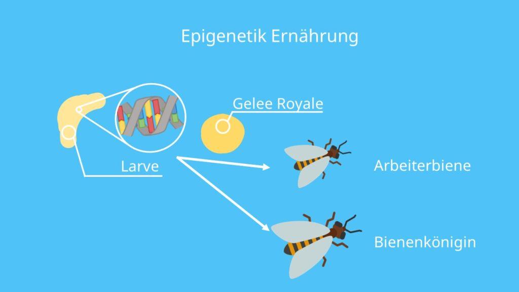 Biene, Epigenetik Ernährung, Gelee Royale, Bienenkönigin