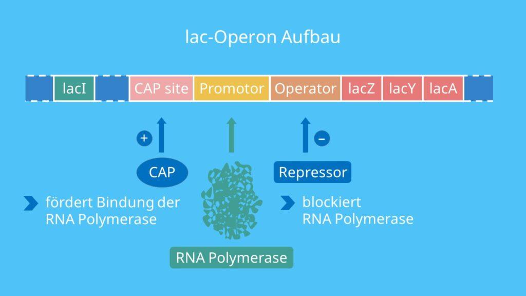 lac Operon Aufbau, Promotor, Operator, Strukturgene, lacZ, lacY, lacA, Repressor, RNA Polymerase, CAP