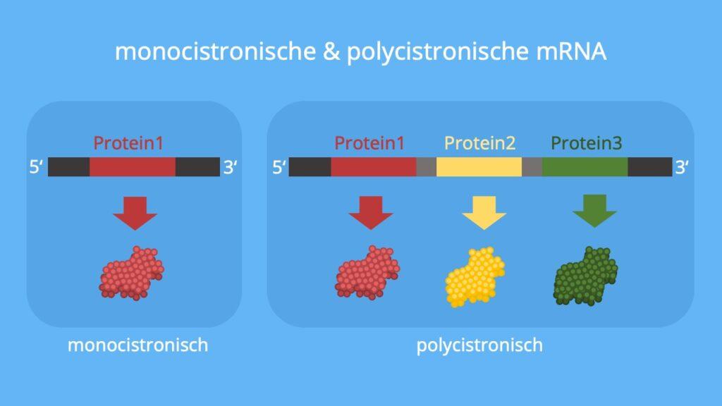 mRNA, Prokaryoten, Eukaryoten, monocistronisch, polycistronisch, Proteine