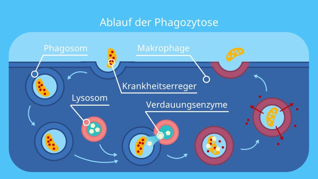 Ablauf der Phagozytose, Makrophage, Riesenfresszelle, Makrophagen Funktion, Lysosomen Funktion, phagozytiert, macrophages