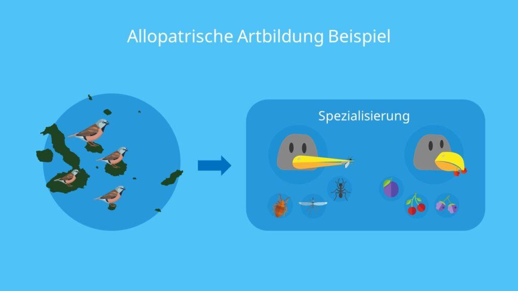 Allopatrische Artbildung Beispiel, Artbildung, allopatrische Artbildung, Beispiel, geographische Isolation, reproduktive Isolation, Darwin Finken
