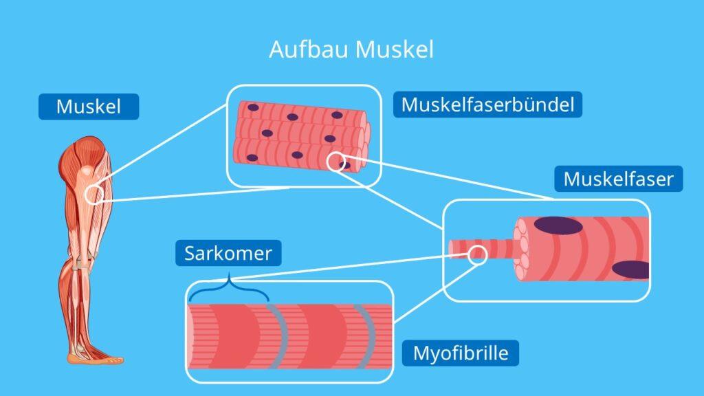 Sarkomer, Sarcolemma, Muskelfaser, Z-Scheiben, Myofibrille