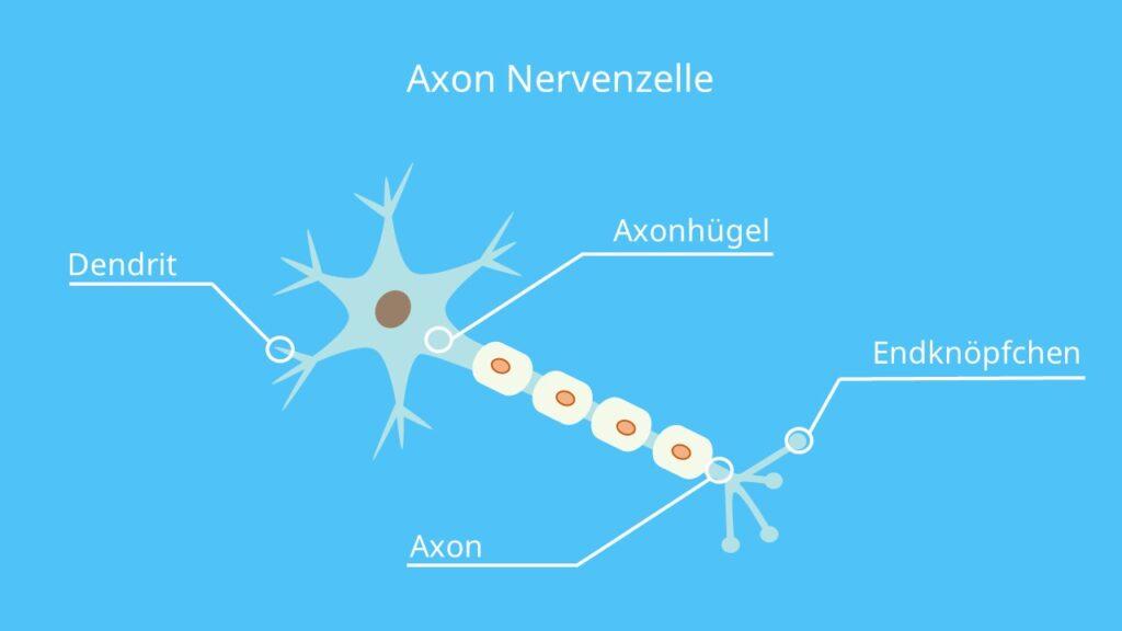 Axonhügel, Dendriten, Endknöpfchen, Neurit, Myelinisierung, Schwannsche Zelle