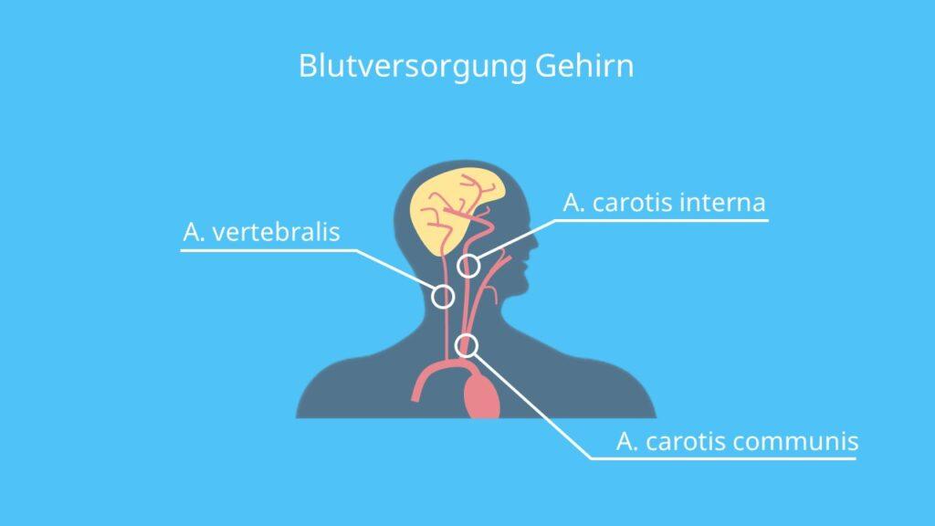 Gehirn Durchblutung, Gehirn Blutversorgung, Arterien Gehirn