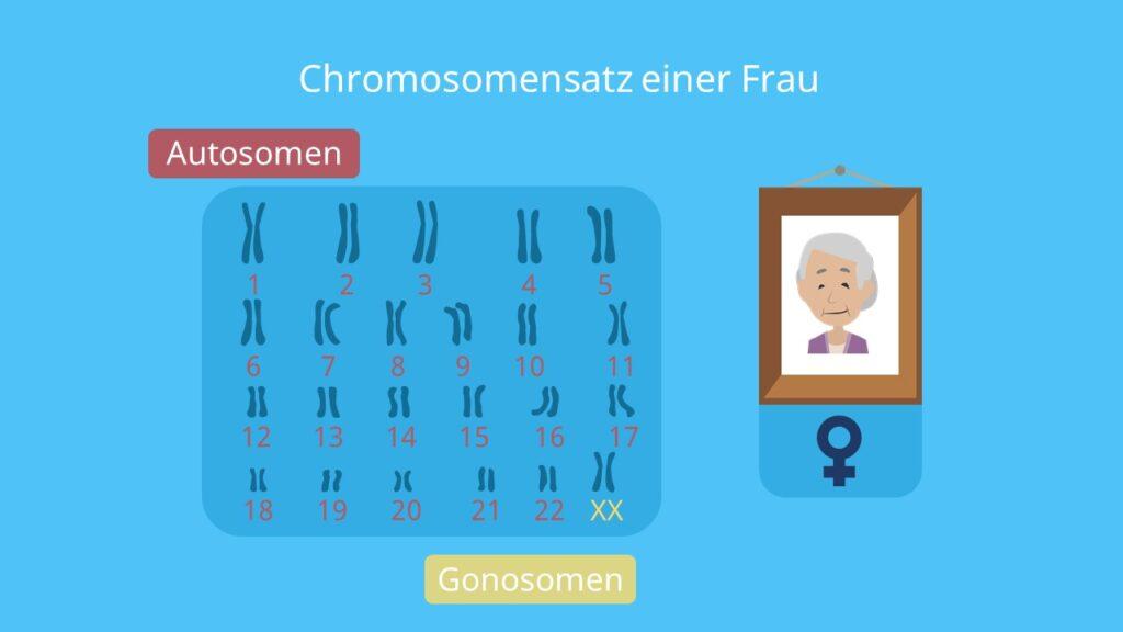 Stammbaumanalyse; Autosomen, Gonosomen, Chromosomensatz, autosomal, gonosomal
