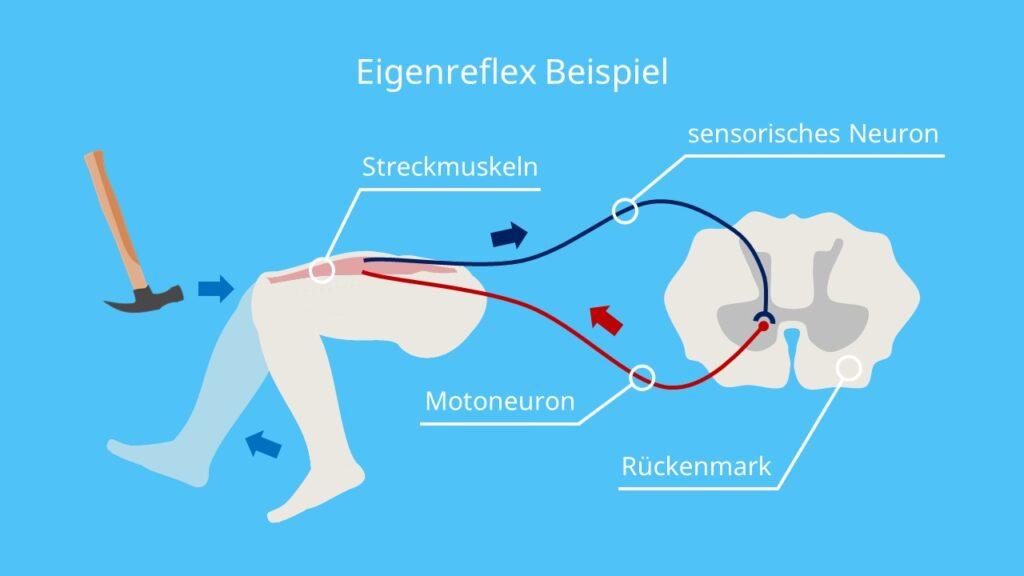 Eigenreflex Beispiel, Reflex, Reflexbogen, Patellarsehnenreflex, Kniesehnenreflex