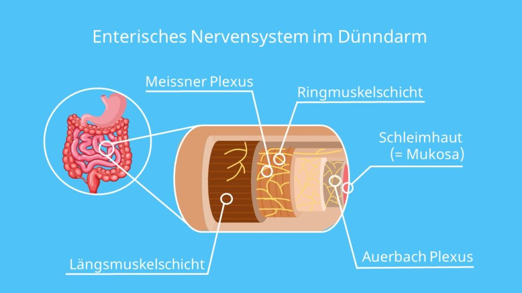 ENS, Auerbach Plexus, Meissner Plexus
