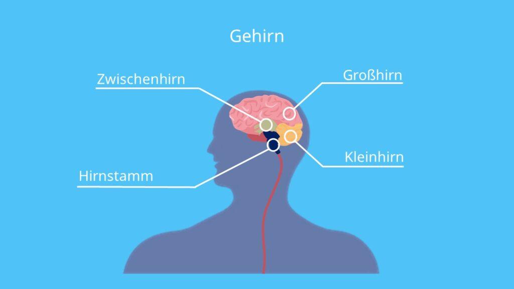 Gehirn, Großhirn, Zwischenhirn, Kleinhirn, Hirnstamm