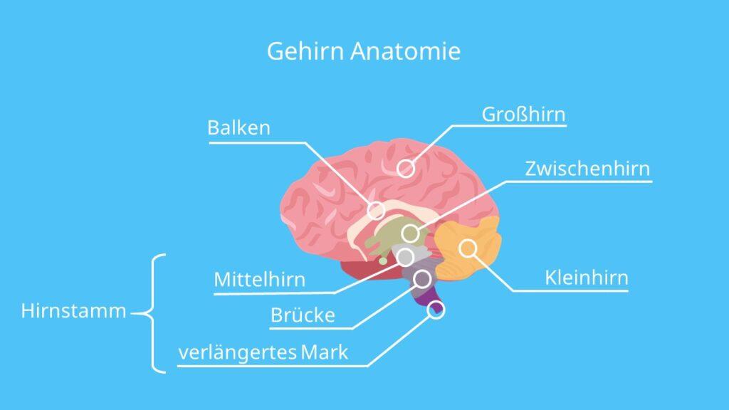 Gehirn Zeichnung, Anatomie Gehirn, Pons Gehirn, Balken Gehirn, Gehirn Aufbau und Funktion