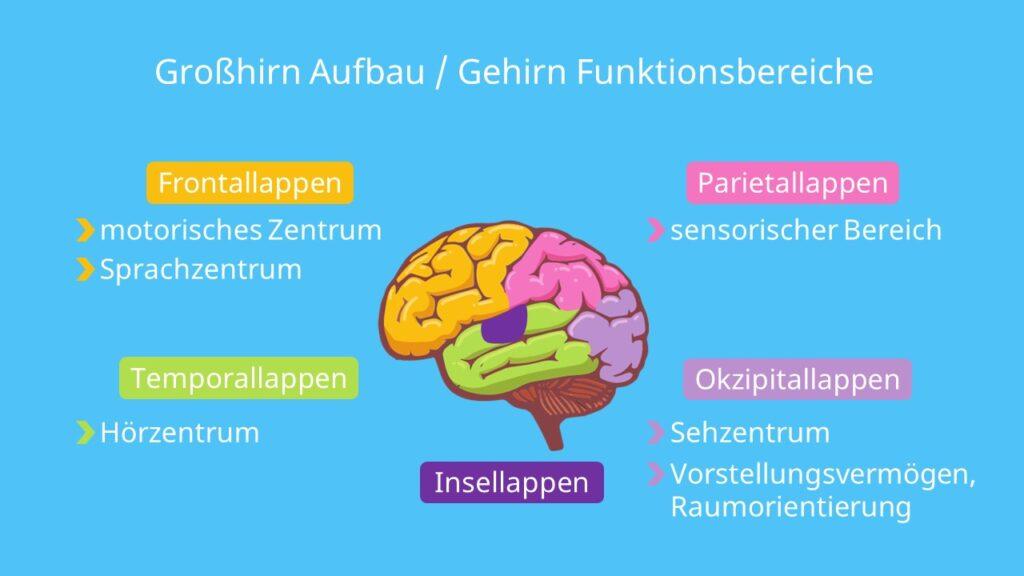 Rindenfelder, Gehirn Aufbau und Funktion, Gehirn von oben, Großhirn Funktion