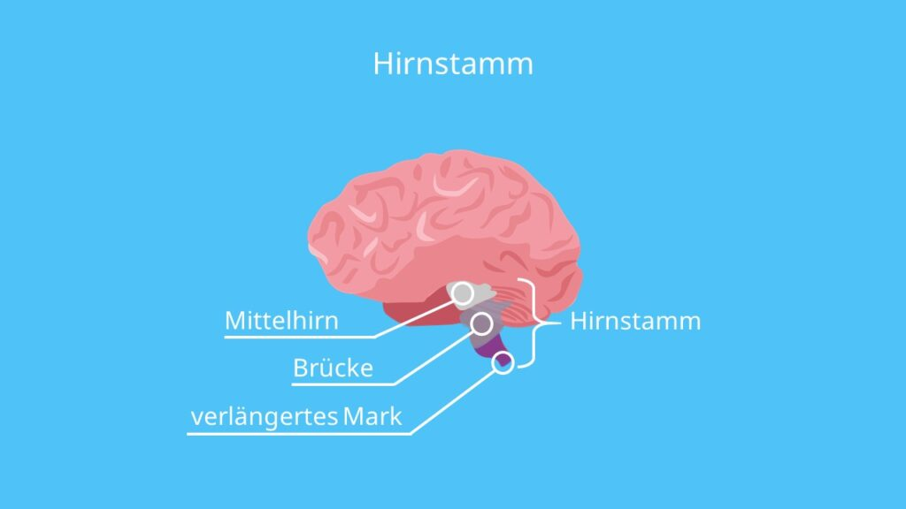 Hirnstamm Funktion, Pons Gehirn, Medulla oblongata