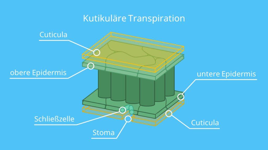 Kutikuläre Transpiration, Transpiration Biologie, Transpiration Blatt, Transpiraton bei Pflanzen,transpirieren, transpiriert