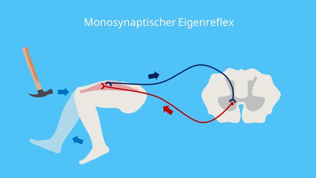 Muskeleigenreflex, Eigenreflex, monosynaptischer Reflex, Patellarsehnenreflex, Kniesehnenreflex