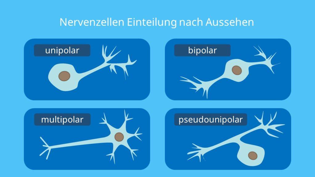 unipolare Nervenzelle, bipolare Nervenzelle, pseudounipolar Nervenzelle, multipolare Nervenzelle, Neuron