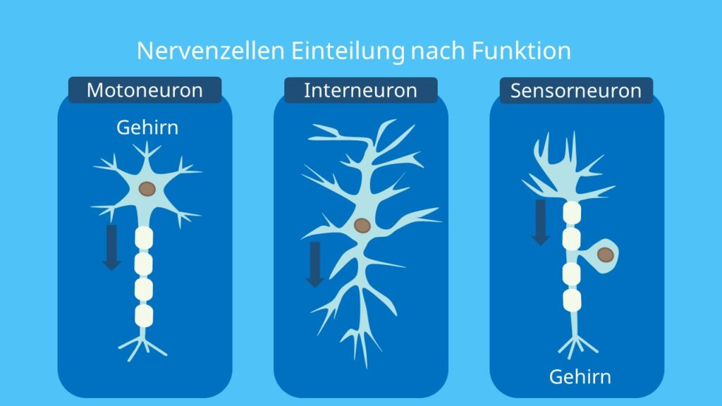 Motoneuron, motorische Nervenzelle, Interneuron, Sensorneuron, sensorische Nervenzelle