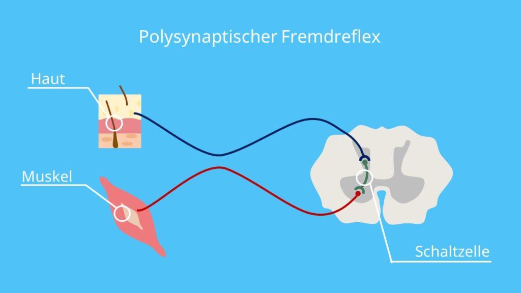 Fremdreflex, polysynaptischer Reflexbogen, polysynaptischer Reflex