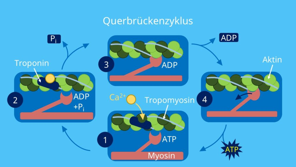 Myosinköpfchen, Aktinfilamente, Tropomyosin, Troponin, Querbrückenzyklus, ATP