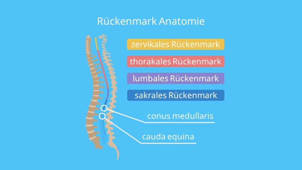 Rückenmark Anatomie, Rückenmark Beschriftung, Nerven Rücken, Thorakalbereich, Zervikalmark, Thorakalmark, Lumbalmark, Sakralmark, Kokzygealmark