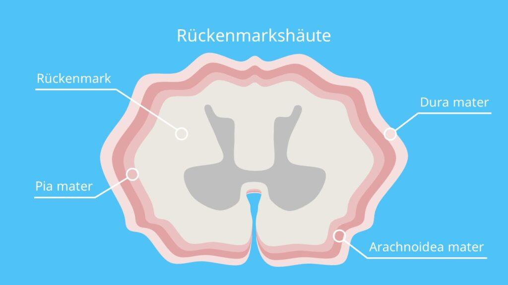 Rückenmarkshäute, Pia mater spinalis, Arachnoidea mater, Dura mater spinalis, weiche Rückenmarkshaut, harte Rückenmarkshaut