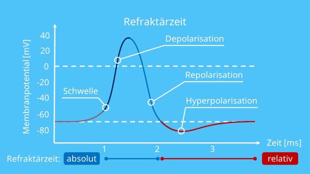absolute Refraktärzeit, relative Refraktärzeit, absolute und relative Refraktärzeit, Refraktärphase, Refraktärzeit Aktionspotential