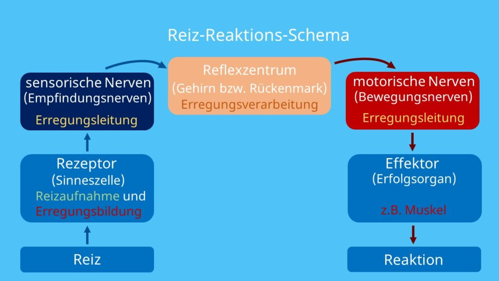 Reiz reaktions schema, reiz reaktionskette, motoneuron, sensorisches neuron, reiz reaktion, rezeptor