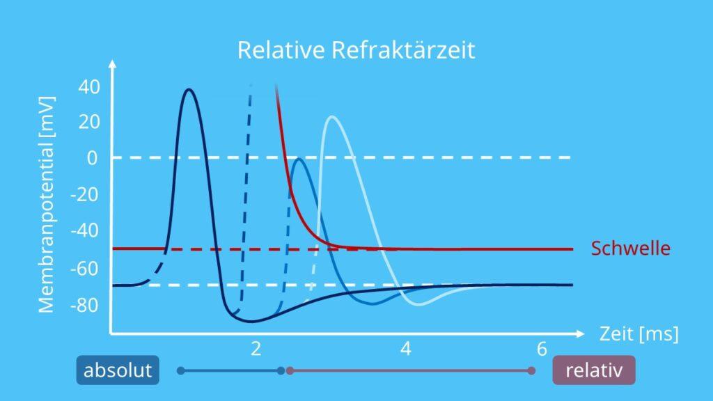 absolute und relative Refraktärzeit, Refraktärität, Refraktärzeit Aktionspotential