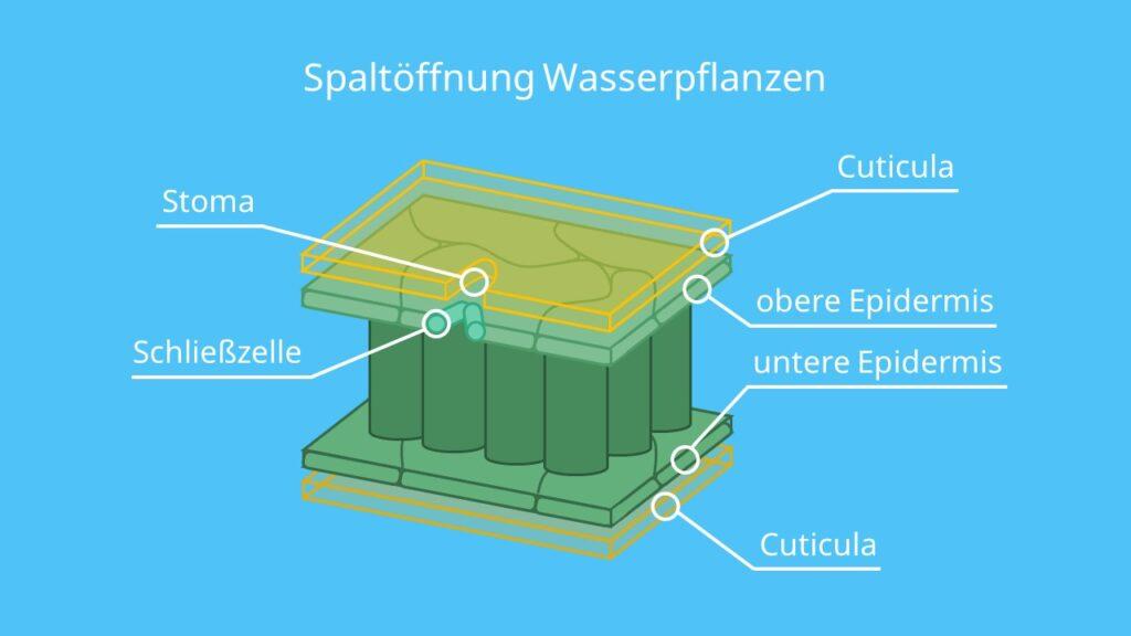 Spaltöffnung bei Wasserpflanzen, Transpiration Biologie, Transpiration Blatt, Transpiraton bei Pflanzen, transpirieren, transpiriert, Wasserpflanzen, Hydrophyten