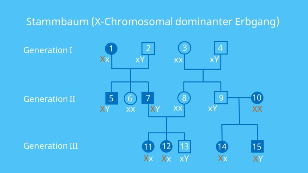 Gonosomen, dominant, Stammbaumanalyse, gonosomal, Vererbung, Allel, Gen, Übung, Aufgabe, Beispiel, Lösung, X-chromosomal