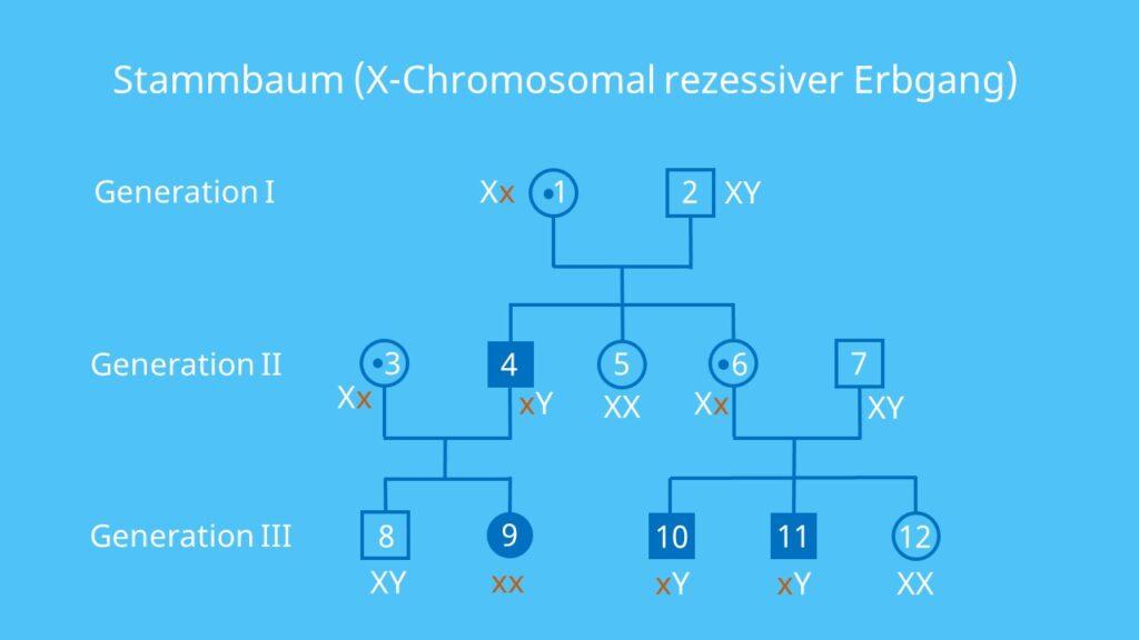 Gonosomen, rezessiv, Stammbaumanalyse, gonosomal, Vererbung, Allel, Gen, Übung, Aufgabe, Beispiel, Lösung, X-chromosomal